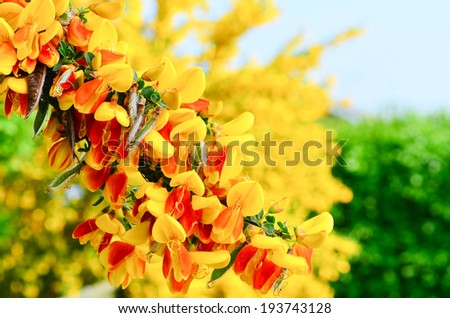 Scotch Broom Cytisus scoparius flowers - stock photo