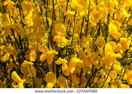Scotch broom, Hiniesta. Cytisus scoparius. - stock photo