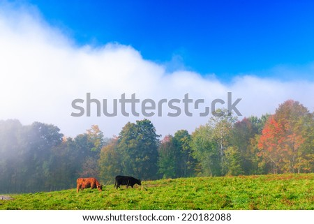Scotch Highland cattle in a field in Stowe, Vermont - stock photo