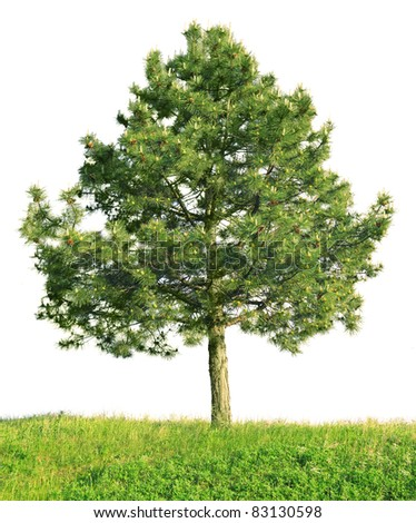 Scotch pine (Pinus sylvestris) isolated on a white background - stock photo
