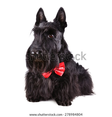 Scotch terrier in red necktie on a white background - stock photo