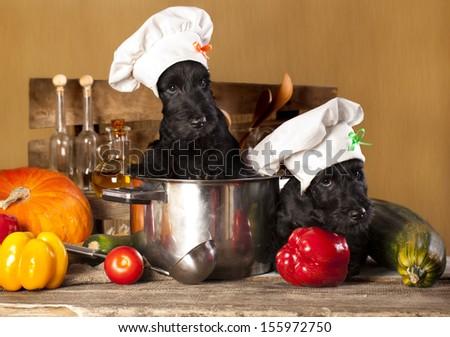 Scotch terrier kitchen boy in a saucepan, cook puppies - stock photo