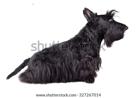 Scotch terrier sitting on a white background