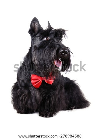 Scotch terrier wearing a red bow tie isolated on a white background