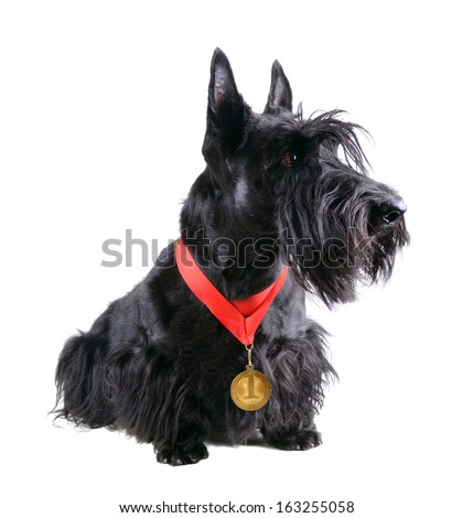 Scotch terrier with gold medal on a white background - stock photo