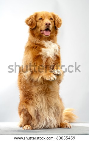 Scotia Duck Tolling Retriever doing a trick in studio
