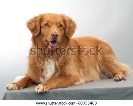 Scotia Duck Tolling Retriever laying in studio