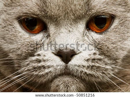 scotitish fold grey cat. studio shot. - stock photo