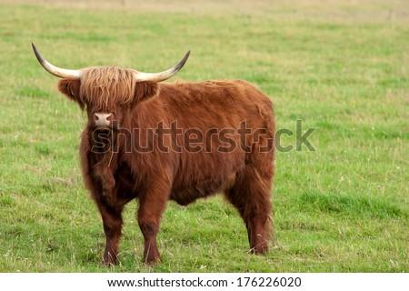 Scotland Angus Bull - stock photo