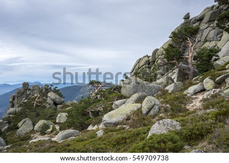 Scots pine forest in Siete Picos (Seven Peaks) range, in Guadarrama Mountains National Park, province of Madrid, Spain