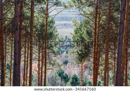 Scots Pine Forest. Pinus sylvestris. La Cabrera, Leon. - stock photo