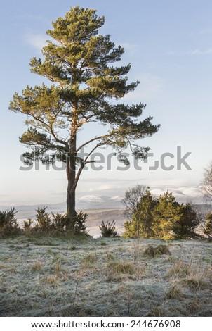 Scots Pine on Craig Phadrig in Scotland. - stock photo