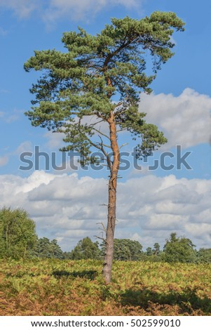 Scots Pine tree standing proud in a woodland clearing