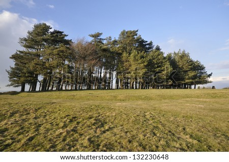 Scots Pine Trees - Pinus sylvestris On top of May Hill, Newent, Gloucestershire - stock photo