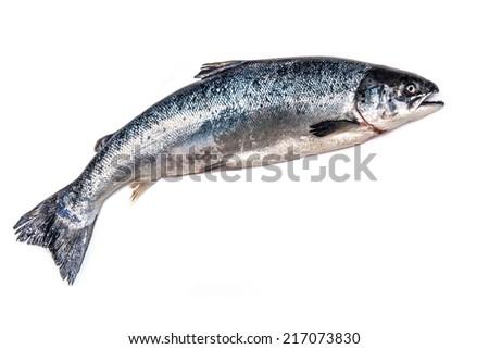 Scottish Atlantic Salmon (Salmo solar) whole fish, isolated on a white studio background. - stock photo