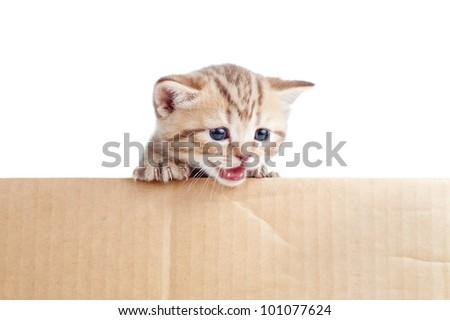 Scottish british baby kitten in cardboard box - stock photo