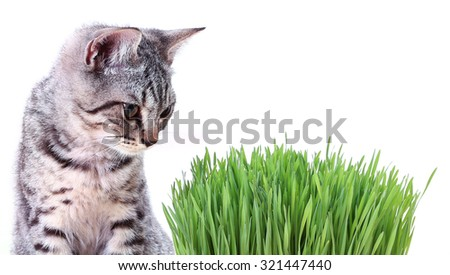 Scottish cat looking green grass for health ,isolated on white background - stock photo