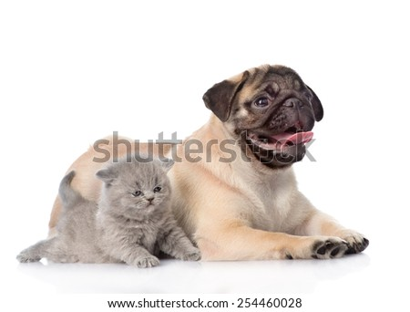 Scottish cat lying with pug puppy. isolated on white background