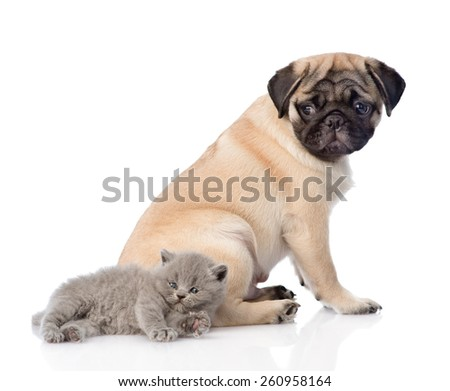 Scottish cat lying with pug puppy. isolated on white background - stock photo