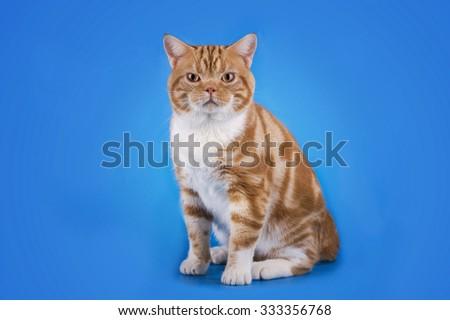 Scottish cat on a blue background isolated - stock photo
