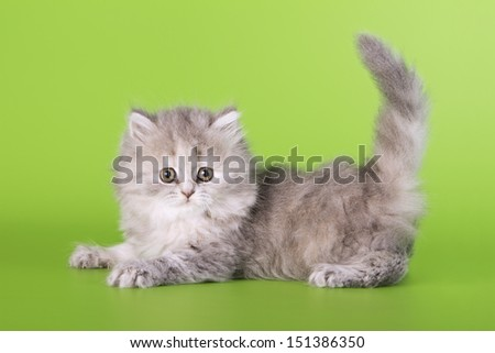 Scottish cat on a green background - stock photo