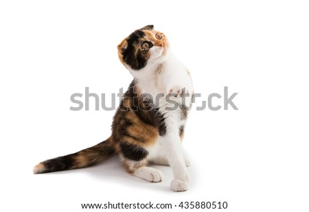 Scottish cat on a white background