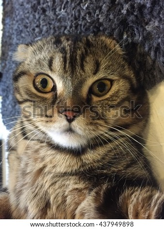 Scottish cat's portrait. A cat lying and looking. Cute Scottish fold cat Animal lifestyle at home - stock photo