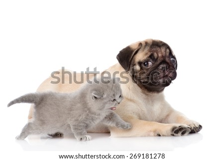 Scottish cat with pug puppy. isolated on white background - stock photo