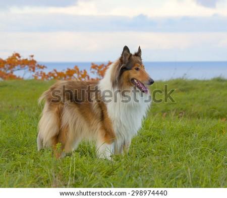 Scottish Collie on nature background - stock photo