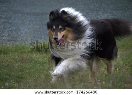Scottish Collie (or Scotch Collie, Rough Collie) is running through Swiss mountain fields. - stock photo