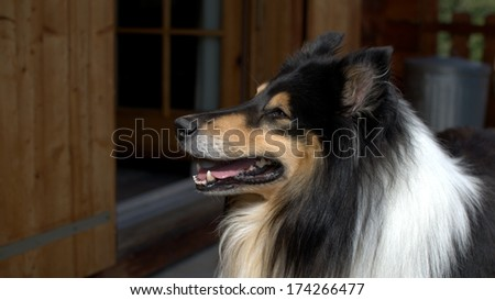 Scottish Collie (or Scotch Collie, Rough Collie) on a Swiss balcony