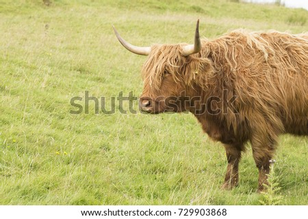 Scottish cow in green grass