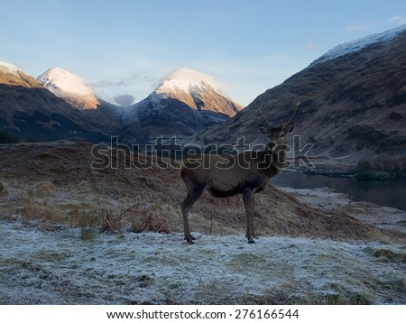 Scottish Deer       - stock photo