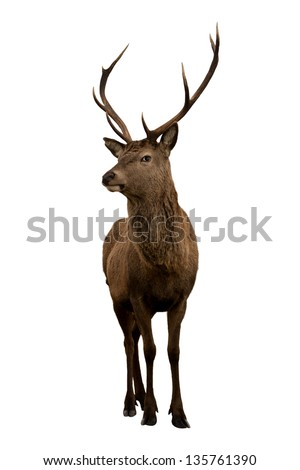 Scottish deer stag isolated on white - stock photo