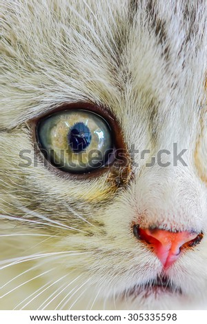 scottish fold  - stock photo