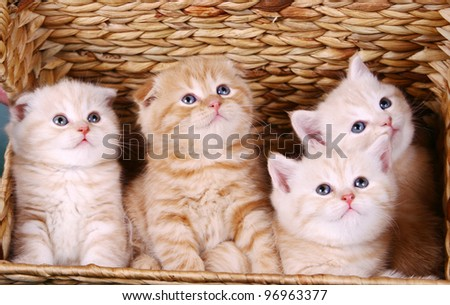 Scottish fold and strite kittens in the basket - stock photo