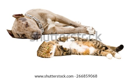 Scottish Fold cat and dog breed pit bull lying together isolated on white background - stock photo