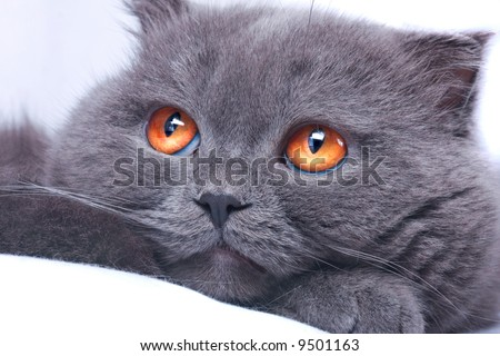 scottish fold cat grey furry plushy - stock photo