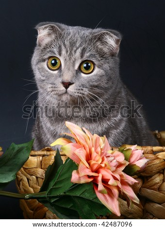Scottish fold cat in a basket with pink  flowers. - stock photo