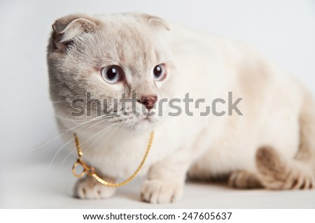 Scottish Fold cat in a studio