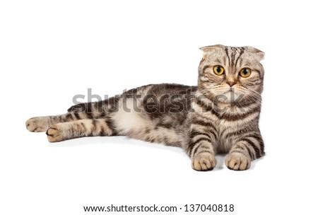 Scottish-fold cat isolated on white background - stock photo