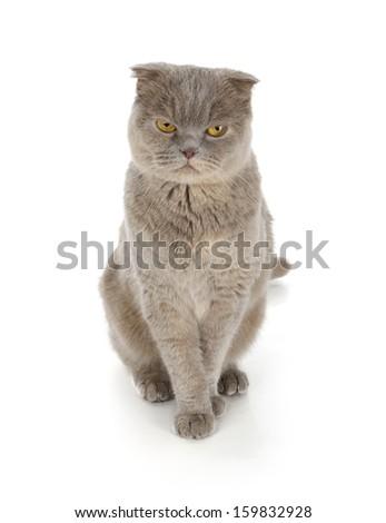 Scottish fold cat isolated on white background - stock photo