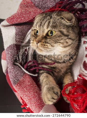 Scottish Fold cat lies under the checkered colored plaid, for something watching head turned to the right - stock photo