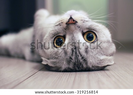 Scottish Fold cat lying on the back - stock photo