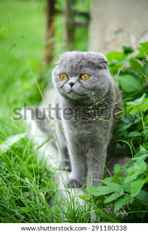 Scottish fold cat on the grass outdoor