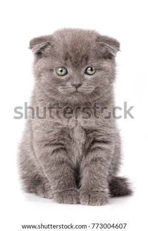 Scottish Fold Cat portrait isolated. Purebred cats. Pet