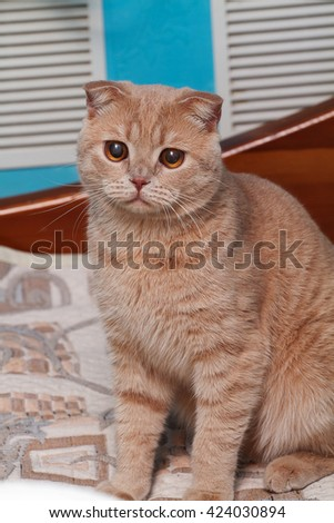 Scottish Fold cat, red eared cat, red eared cat at house, red cat with small ears,
