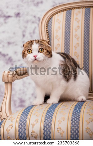 Scottish fold cat sits on the chair - stock photo