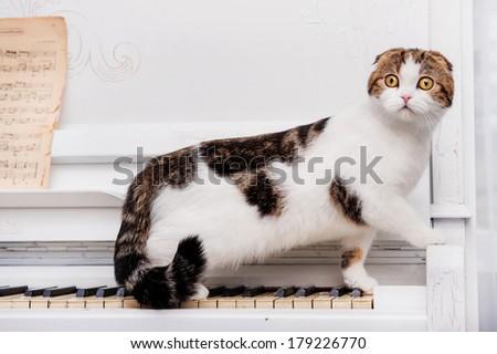 Scottish fold cat sits on the piano - stock photo