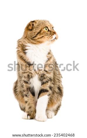 Scottish Fold cat sitting isolated on white background - stock photo